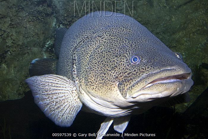 Murray Cod (Maccullochella peelii), Murray-Darling Basin, Australia