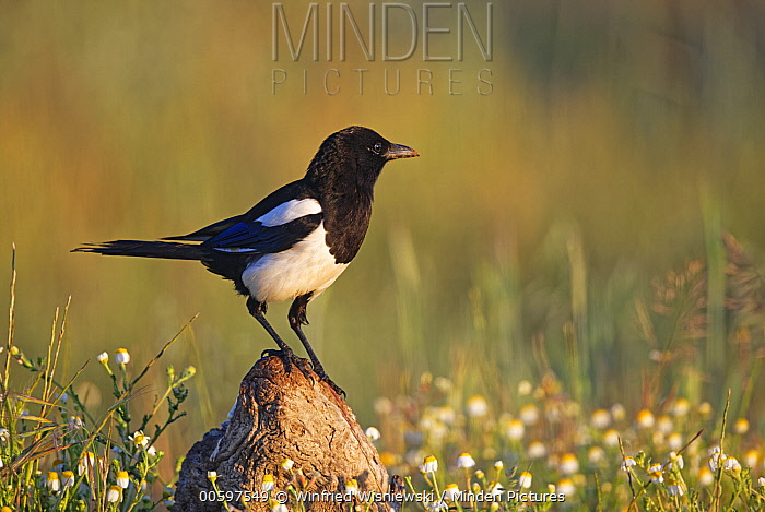 European Magpie (Pica pica), Spain