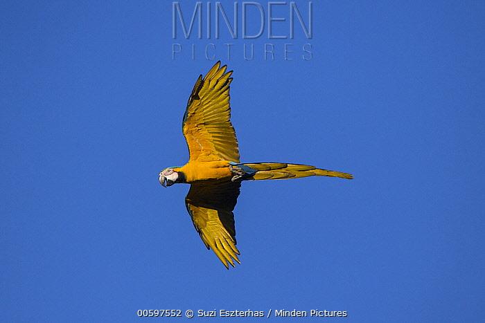 Blue and Yellow Macaw (Ara ararauna) flying, Amazon, Brazil