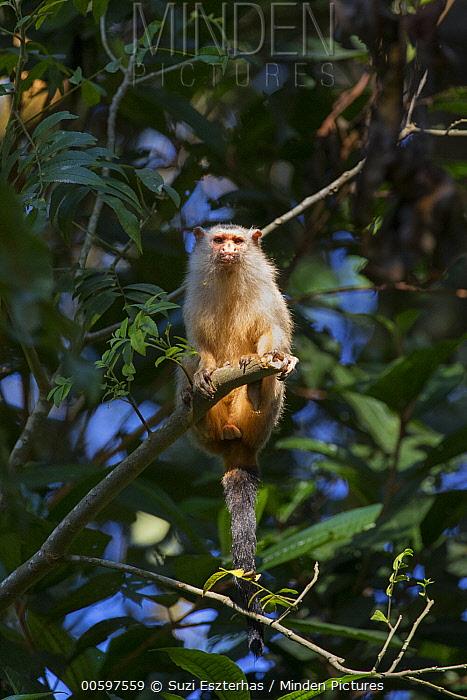 Emilia's Marmoset (Mico emiliae), Amazon, Brazil