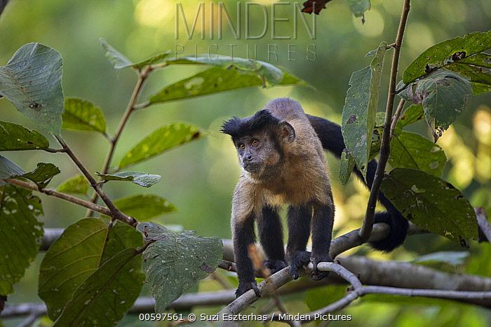 Brown Capuchin (Cebus apella), Amazon, Brazil
