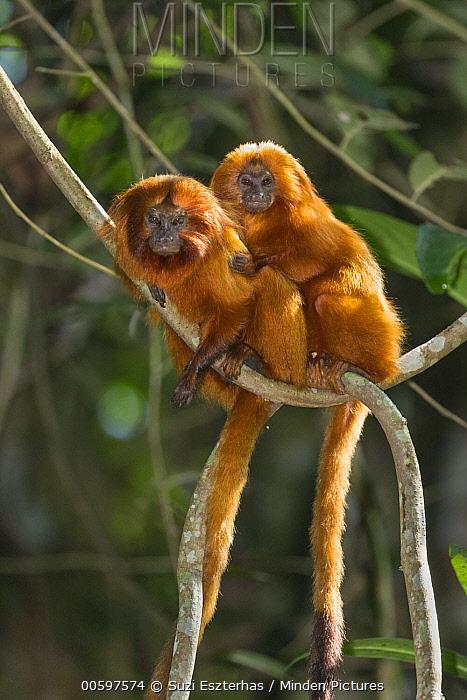 Golden Lion Tamarin (Leontopithecus rosalia) pair, Atlantic Forest, Brazil