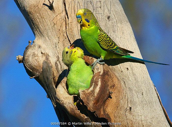 Budgerigar (Melopsittacus undulatus) father with begging chick at nest cavity, Queensland, Australia