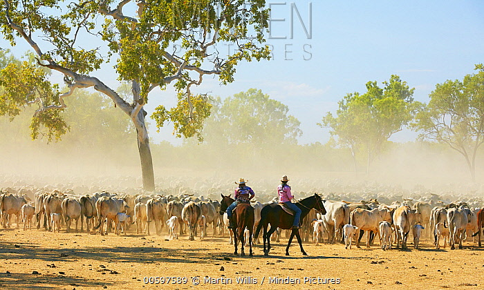 Domestic Cattle (Bos taurus) herd being herded by cowboys, Australia