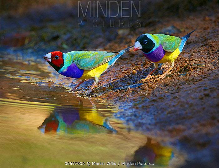 Gouldian Finch (Chloebia gouldiae) males drinking, Kimberley, Western Australia, Australia