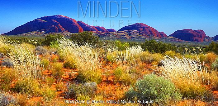 Spinifex Grass (Spinifex sp) in desert, Kata Tjuta, Australia