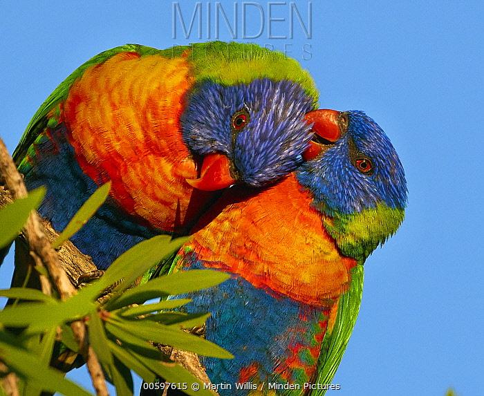 Rainbow Lorikeet (Trichoglossus haematodus) pair preening during courtship, Magnetic Island, Queensland, Australia