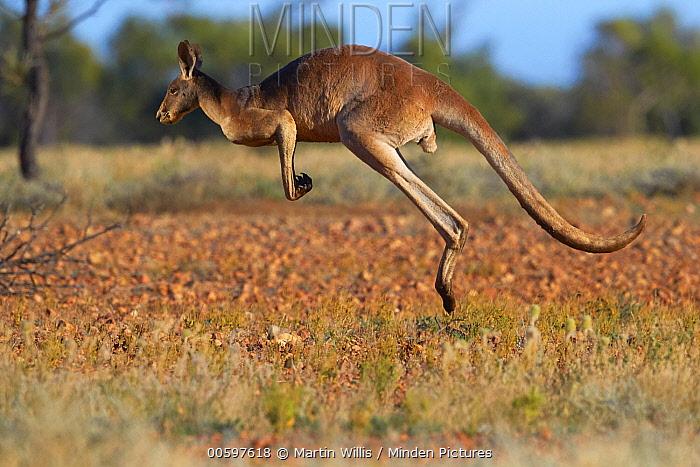 Red Kangaroo (Macropus rufus) male hopping, Queensland, Australia