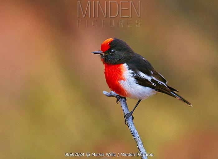 Red-capped Robin (Petroica goodenovii) male, Queensland, Australia