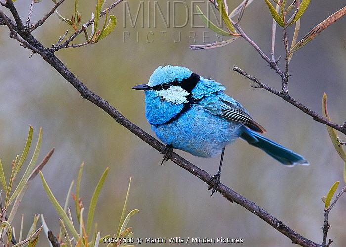 Splendid Fairywren (Malurus splendens) male, Queensland, Australia