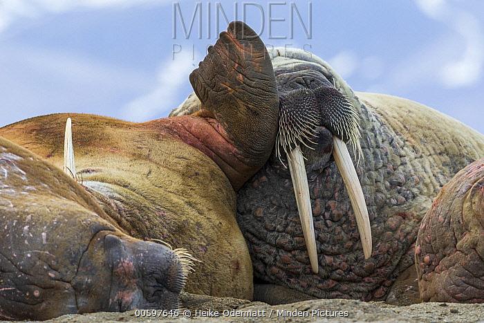 Walrus (Odobenus rosmarus) group, Svalbard, Norway