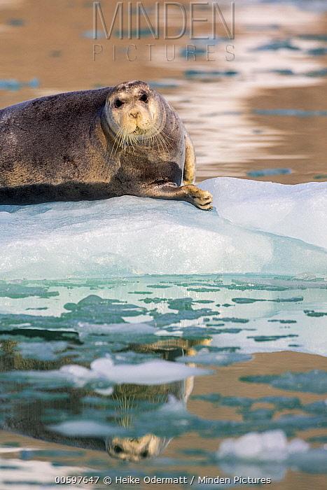 Bearded Seal (Erignathus barbatus) on ice floe, Magdalenefjorden, Svalbard, Norway