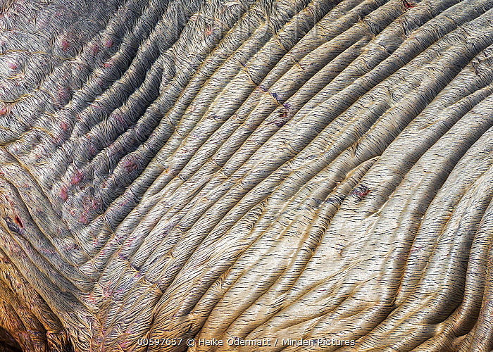 Walrus (Odobenus rosmarus) wet skin, Svalbard, Norway