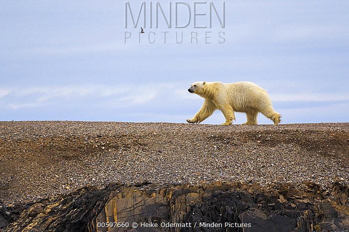Polar Bear (Ursus maritimus) walking across open ground, Murchisonfjorden, Nordaustlandet, Svalbard, Norway
