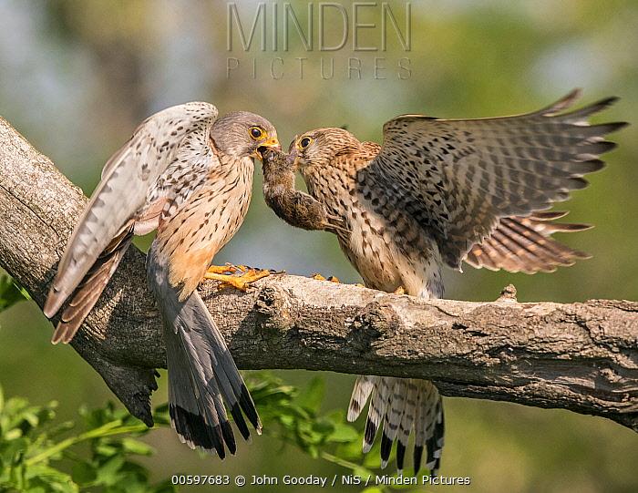 Eurasian Kestrel (Falco tinnunculus) male giving mouse prey to female, Koros-Maros National Park, Bekes, Hungary