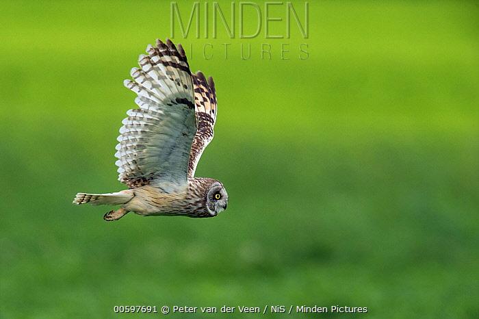 Short-eared Owl (Asio flammeus) flying, Utrecht, Netherlands