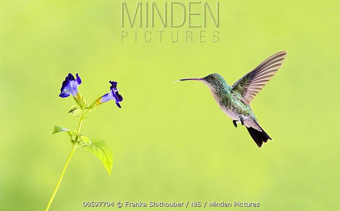 Plain-bellied Emerald (Amazilia leucogaster) hummingbird feeding on flower nectar, Fortaleza, Brazil