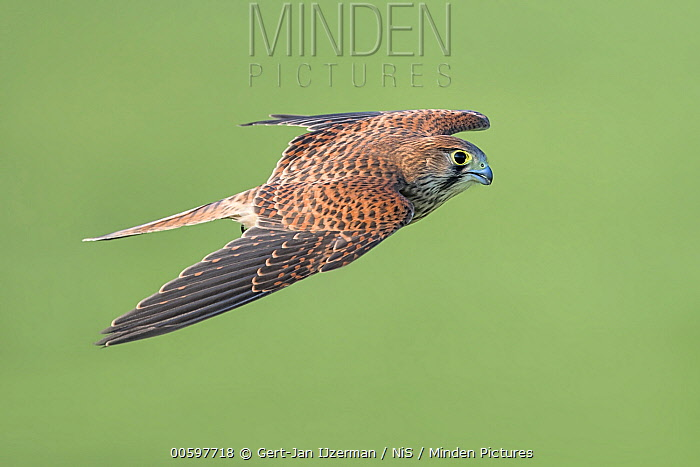Eurasian Kestrel (Falco tinnunculus) flying, Overijssel, Netherlands