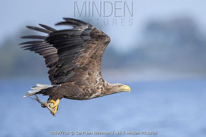 White-tailed Eagle (Haliaeetus albicilla) flying with fish prey, Oder Delta, Stepnica, Poland