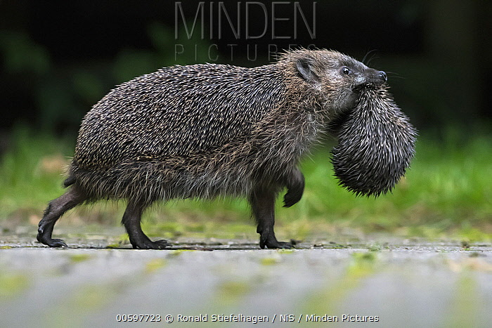 Brown-breasted Hedgehog (Erinaceus europaeus) parent carrying young, Leersum, Utrecht, Netherlands