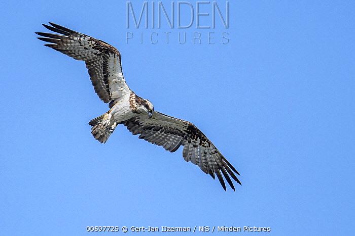 Osprey (Pandion haliaetus) flying, IJssel, Kampen, Overijssel, Netherlands