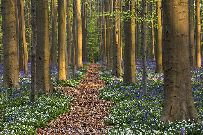 English Bluebell (Hyacinthoides nonscripta) and Wood Anemones (Anemone nemorosa) flowering in forest along path, Hallerbos, Halle, Belgium