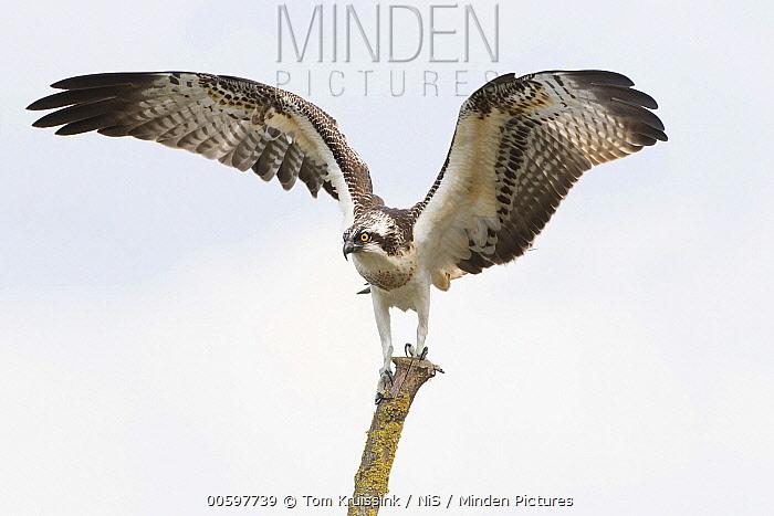 Osprey (Pandion haliaetus) landing, Wijhe, Netherlands