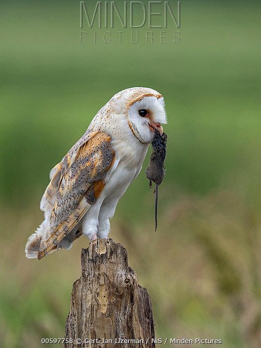 Barn Owl (Tyto alba) with mouse prey, Kampen, Overijssel, Netherlands