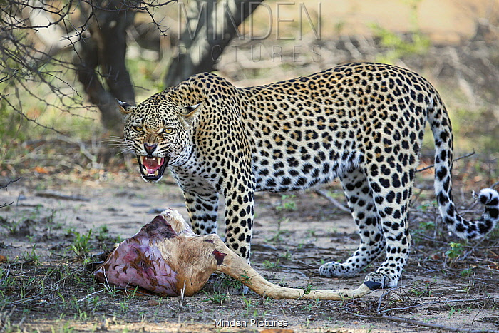 Leopard (Panthera pardus) sub-adult male snarling with Impala (Aepyceros melampus) kill, Sabi-sands Game Reserve, South Africa