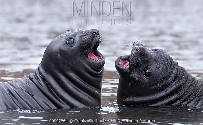 Southern Elephant Seal (Mirounga leonina) juveniles playing, Grytviken, South Georgia Island