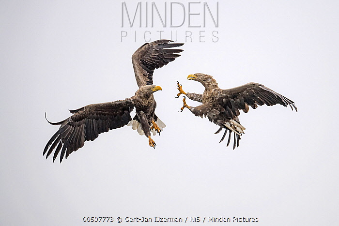 White-tailed Eagle (Haliaeetus albicilla) pair fighting while flying, Oder Delta, Stepnica, Poland