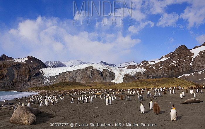King Penguin (Aptenodytes patagonicus) group and Southern Elephant Seals (Mirounga leonina), Gold Harbor, South Georgia Island