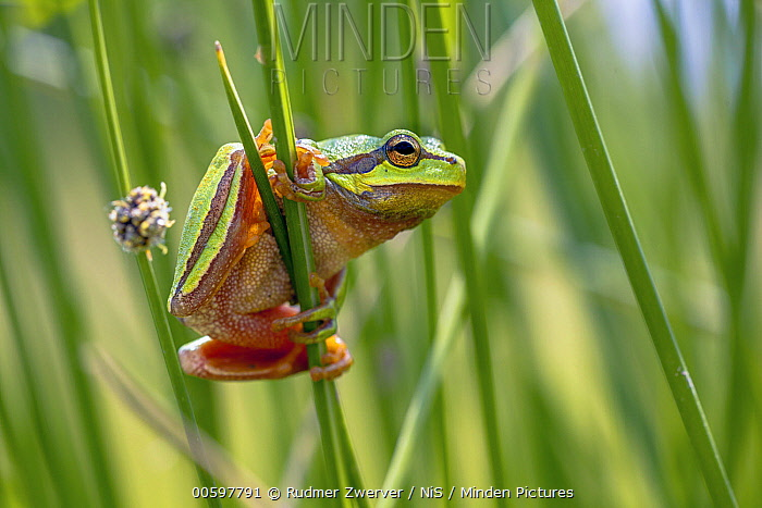 European Tree Frog (Hyla arborea) on Soft Rush (Juncus effusus), Lesbos, Greece