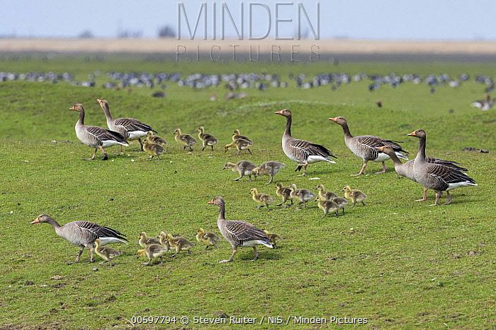 Greylag Goose (Anser anser) parents with chicks, Oostvaardersplassen Nature Reserve, Netherlands