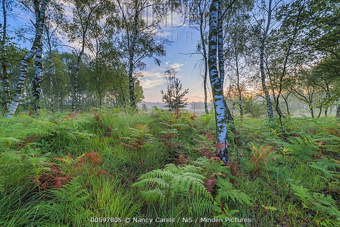 Sunrise over ferns, Kampina, Noord-Brabant, Netherlands