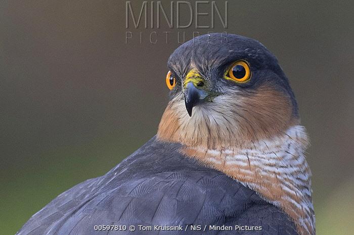 Eurasian Sparrowhawk (Accipiter nisus) male, Lemele, Overijssel, Netherlands