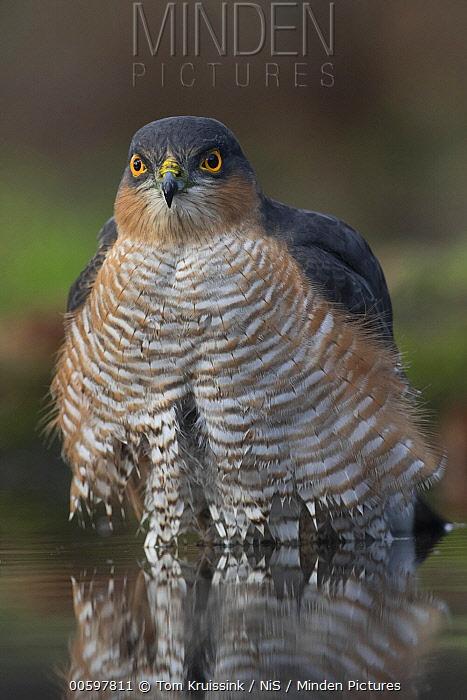 Eurasian Sparrowhawk (Accipiter nisus) at pond, Lemele, Overijssel, Netherlands