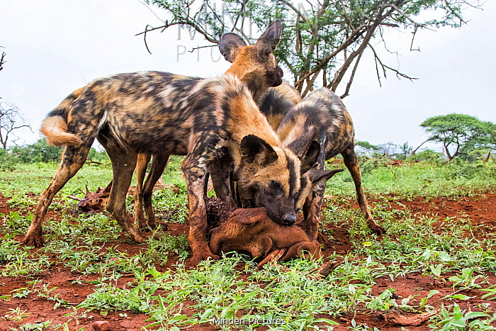 African Wild Dog (Lycaon pictus) group feeding on Warthog (Phacochoerus africanus) prey, Zimanga Game Reserve, South Africa