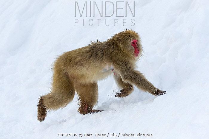 Japanese Macaque (Macaca fuscata) in snow, Jigokudani, Nagano, Japan