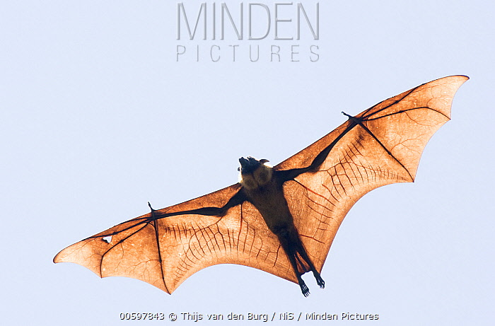 Indian Flying Fox (Pteropus giganteus) flying, Kandy, Sri Lanka