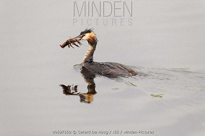 Great Crested Grebe (Podiceps cristatus) with Louisiana Crayfish (Procambarus clarkii) prey, Ameide, Zuid-Holland, Netherlands