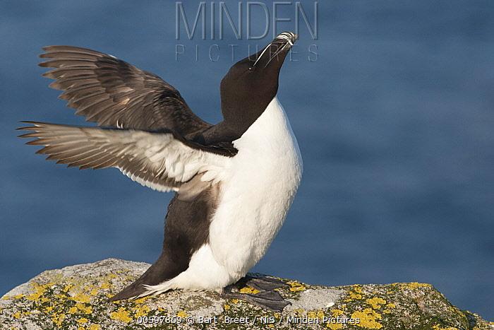 Razorbill (Alca torda) spreading wings, Saltee Island, Ireland