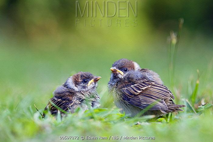 Eurasian Tree Sparrow (Passer montanus) fledglings, Trentino, Italy