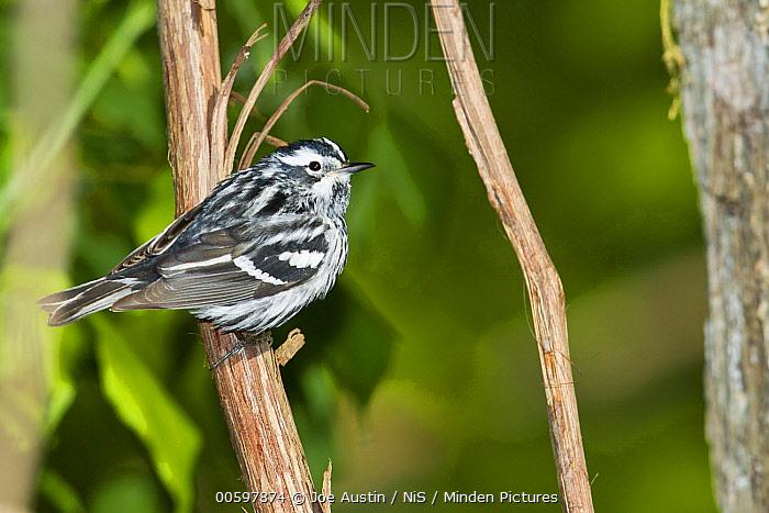 Black-and-white Warbler (Mniotilta varia) male in breeding plumage, Ohio