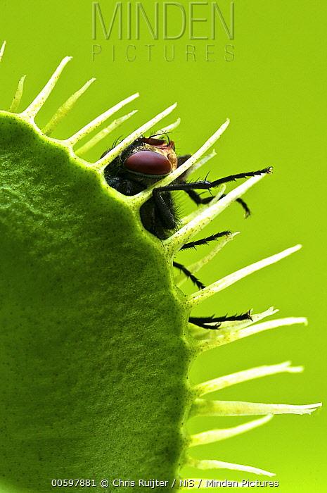 Venus Fly Trap (Dionaea muscipula) with captured House Fly (Musca domestica), Arnhem, Gelderland, Netherlands