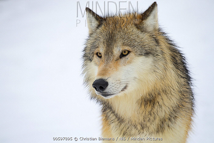 Gray Wolf (Canis lupus), native to northern hemisphere