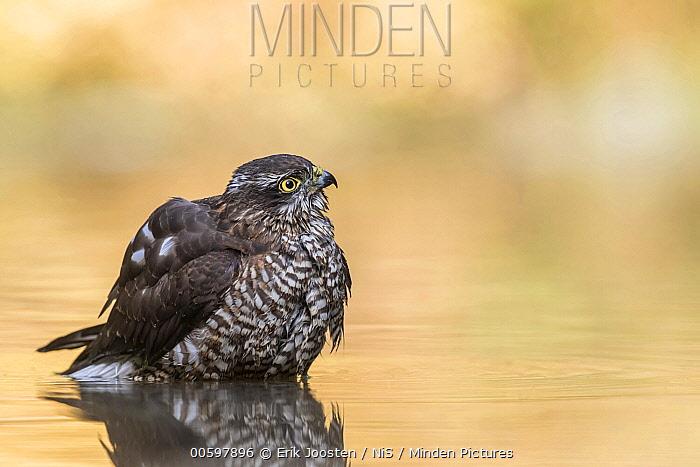 Eurasian Sparrowhawk (Accipiter nisus) in pond, Drunen, Noord-Brabant, Netherlands