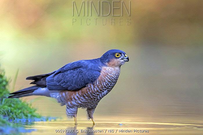 Eurasian Sparrowhawk (Accipiter nisus) drinking, Drunen, Noord-Brabant, Netherlands