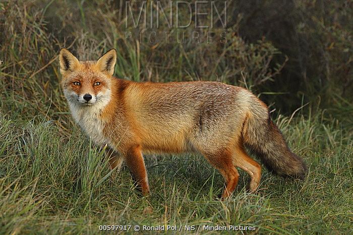 Red Fox (Vulpes vulpes), Noord-Holland, Netherlands