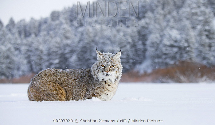 Bobcat (Lynx rufus) in snow, native to North America